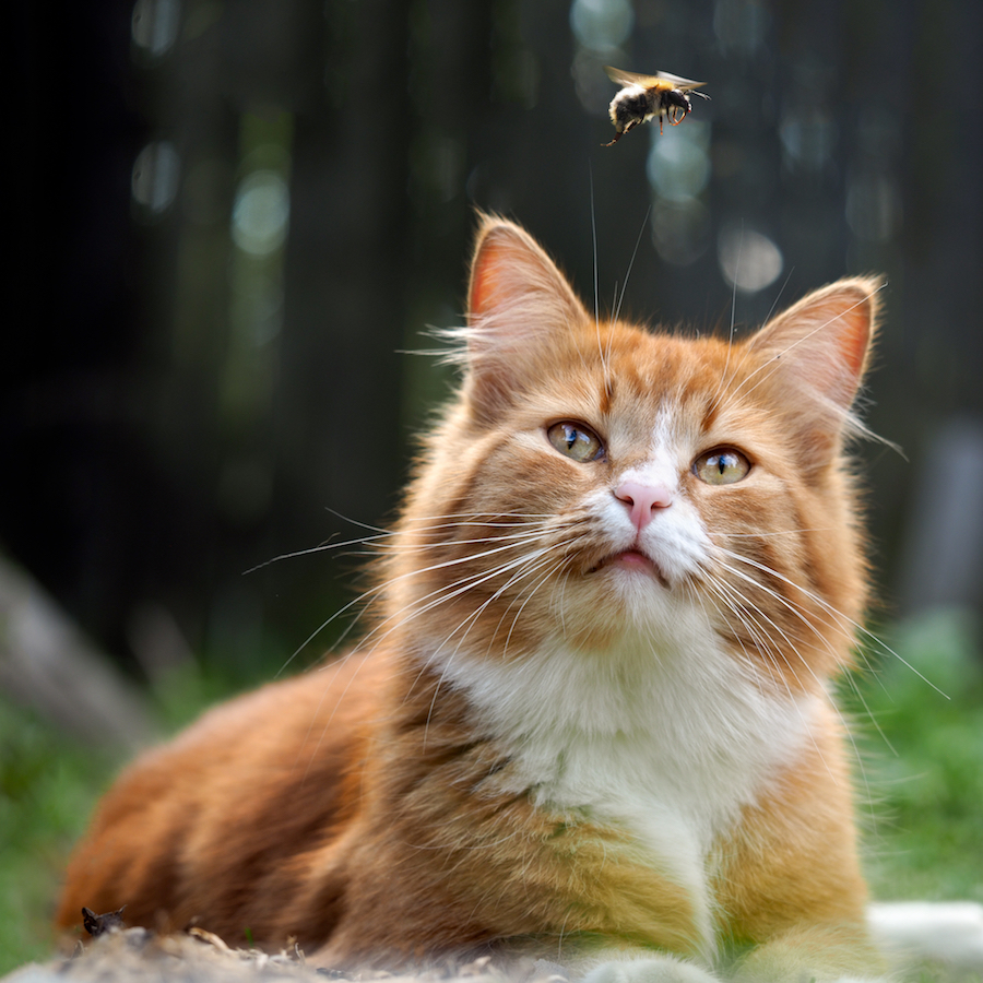 What to do when your cat is stung by a bee or wasp(2020)