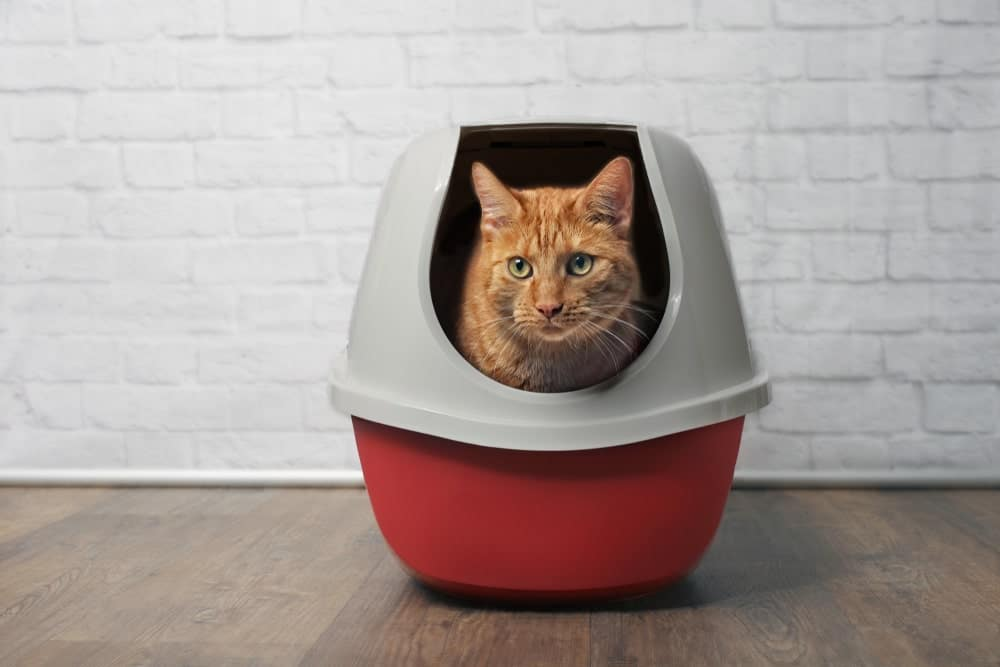 Blood in Cat stool- What you should know