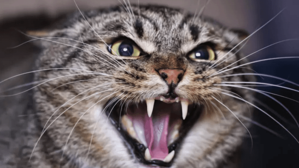 What can make a cat agitated/aggressive